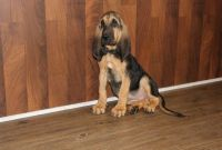 Bloodhound Puppies for sale in Brunswick, OH 44212, USA. price: NA