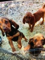 Bloodhound Puppies for sale in Jacksonville, FL, USA. price: NA
