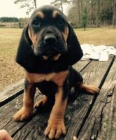 Bloodhound Puppies for sale in Abbeville, SC 29620, USA. price: NA