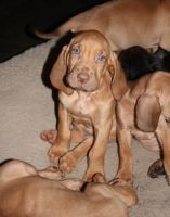 Bloodhound Puppies for sale in Cheyenne, WY 82001, USA. price: NA
