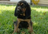Bloodhound Puppies for sale in San Francisco, CA 94133, USA. price: NA