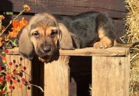 Bloodhound Puppies for sale in Atmore, AL 36502, USA. price: NA
