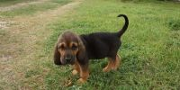 Bloodhound Puppies for sale in Bowman, SC 29018, USA. price: NA