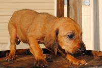 Bloodhound Puppies for sale in Miami, FL, USA. price: NA