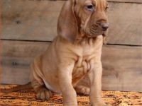 Bloodhound Puppies for sale in Aurora, IL 60502, USA. price: NA