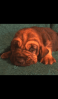 Bloodhound Puppies for sale in Felicity, OH, USA. price: NA