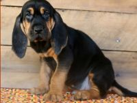 Bloodhound Puppies for sale in Los Angeles, CA 90009, USA. price: NA