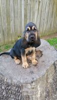 Bloodhound Puppies for sale in Lincoln, NE, USA. price: NA