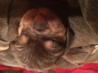 Bloodhound Puppies for sale in Trenton, GA 30752, USA. price: NA
