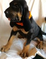 Bloodhound Puppies for sale in Menomonie, WI 54751, USA. price: NA