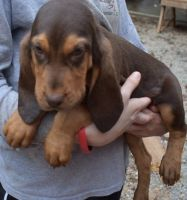 Bloodhound Puppies for sale in Bexley, OH 43209, USA. price: NA