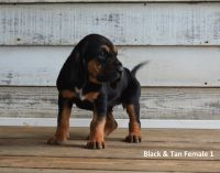 Bloodhound Puppies for sale in Norwood, NC 28128, USA. price: NA