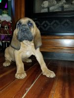 Bloodhound Puppies for sale in Fayetteville, NC, USA. price: NA