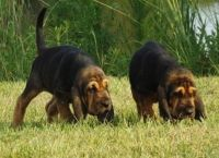 Bloodhound Puppies for sale in New York, NY, USA. price: NA