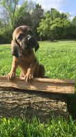 Bloodhound Puppies for sale in Nicholasville, KY 40356, USA. price: NA