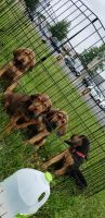 Bloodhound Puppies for sale in Fredericksburg, VA 22401, USA. price: NA
