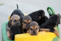Bloodhound Puppies for sale in Sparta, MI 49345, USA. price: NA