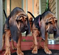 Bloodhound Puppies for sale in Raleigh, NC, USA. price: NA