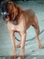Bloodhound Puppies for sale in Wilson, NC, USA. price: NA