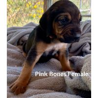 Bloodhound Puppies for sale in Otway, OH 45657, USA. price: NA