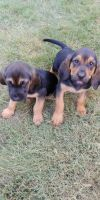 Bloodhound Puppies for sale in Loganville, GA 30052, USA. price: NA