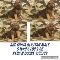 Bloodhound Puppies for sale in Breaux Bridge, LA 70517, USA. price: NA