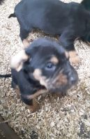 Bloodhound Puppies for sale in Enumclaw, WA 98022, USA. price: NA