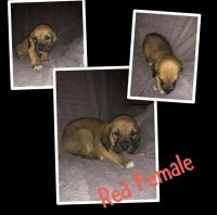Bloodhound Puppies for sale in Miami, OK 74354, USA. price: NA