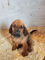 Bloodhound Puppies for sale in Eatonville, WA 98328, USA. price: NA