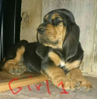 Bloodhound Puppies for sale in Hillsboro, OH 45133, USA. price: NA