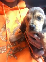Bloodhound Puppies for sale in Swanton, OH 43558, USA. price: NA
