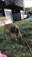 Bloodhound Puppies for sale in Escondido, CA, USA. price: NA