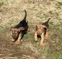 Bloodhound Puppies for sale in Indian Mound, TN 37079, USA. price: NA