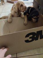 Bloodhound Puppies Photos