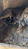 Bloodhound Puppies for sale in Princeton, NC 27569, USA. price: NA