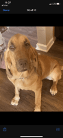 Bloodhound Puppies for sale in Long Beach, MS 39560, USA. price: NA