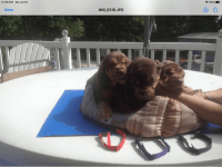Bloodhound Puppies for sale in Springfield, MO, USA. price: NA