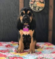 Bloodhound Puppies for sale in Lynchburg, VA, USA. price: NA