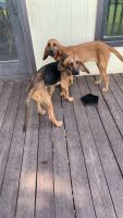 Bloodhound Puppies for sale in Topeka, KS, USA. price: NA