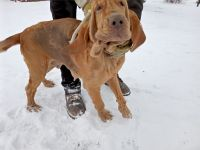 Bloodhound Puppies for sale in Interlaken, NY 14847, USA. price: NA