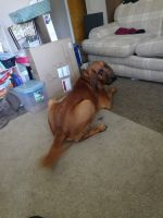 Bloodhound Puppies for sale in Macomb, MI 48044, USA. price: NA