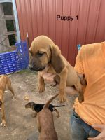Bloodhound Puppies for sale in Ogilvie, MN 56358, USA. price: NA