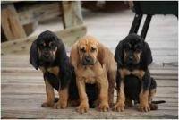 Bloodhound Puppies for sale in Birmingham, AL, USA. price: NA