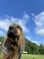 Bloodhound Puppies for sale in Darlington, SC 29532, USA. price: NA