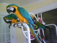 Blue-and-yellow Macaw Birds for sale in Colorado Springs, CO, USA. price: NA