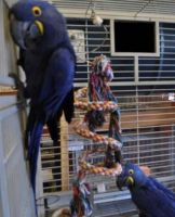 Blue-and-yellow Macaw Birds for sale in Burbank, CA, USA. price: NA