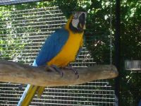 Blue-and-yellow Macaw Birds for sale in Oklahoma City, OK, USA. price: NA