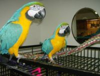 Blue-and-yellow Macaw Birds for sale in Columbus, GA, USA. price: NA