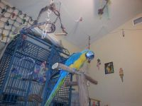 Blue-and-yellow Macaw Birds for sale in Savannah, GA, USA. price: NA