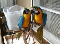 Blue-and-yellow Macaw Birds for sale in Seattle, WA, USA. price: NA